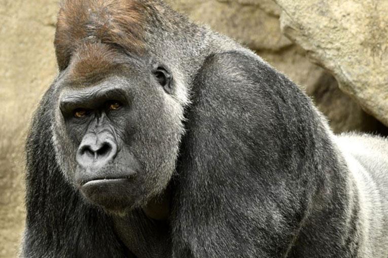 gorila-portada