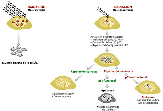 CELULAS y radiacion