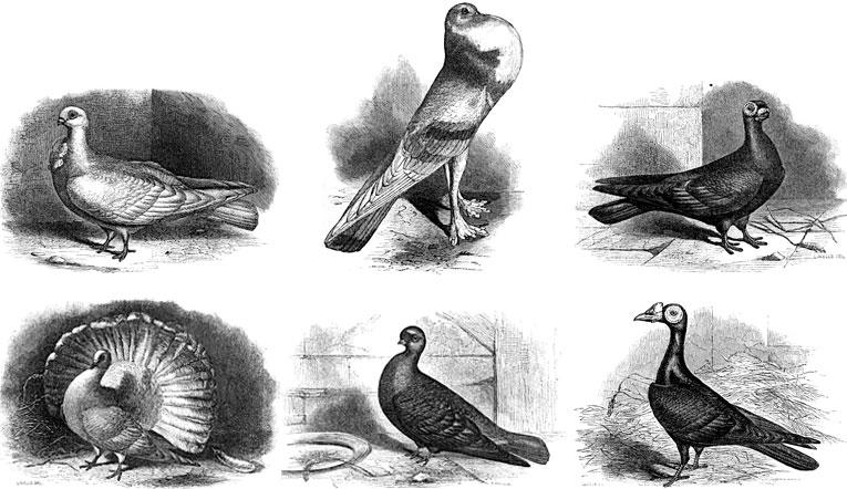 Variacions del Darwin domèstic