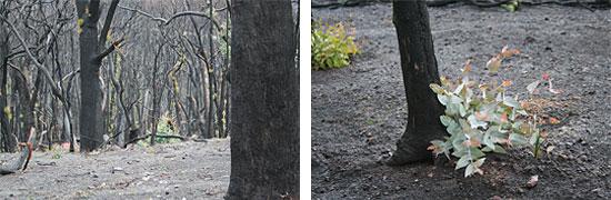 rebrotes, incluso en los troncos, en un bosque de eucaliptus