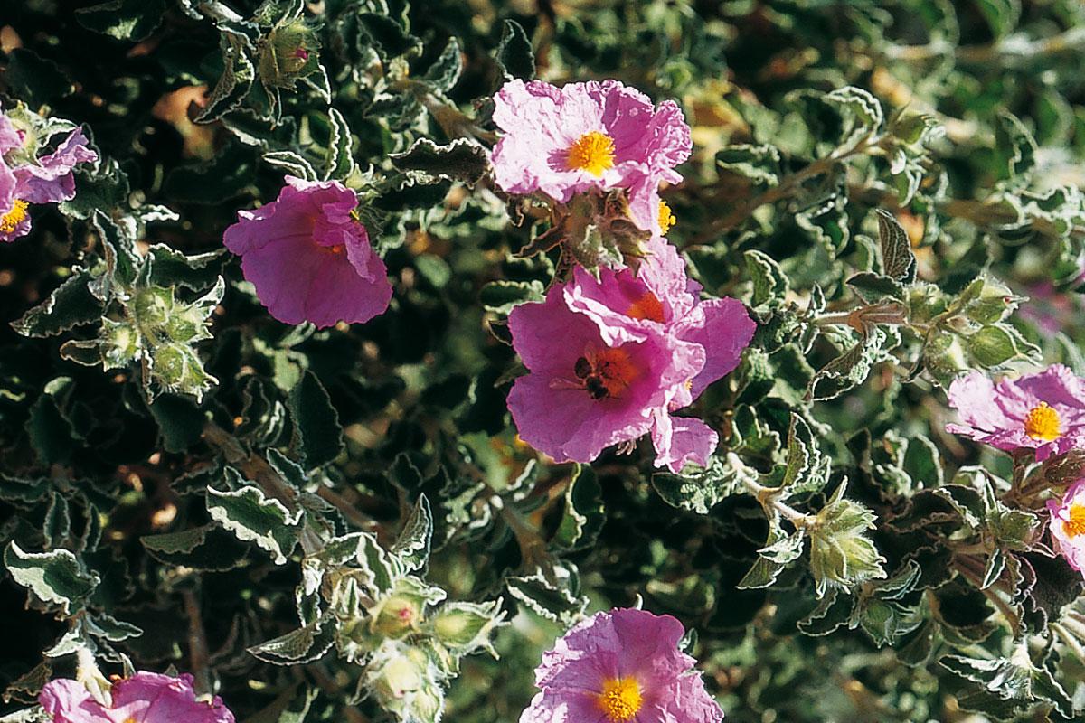 Flora valenciana de interés apícola