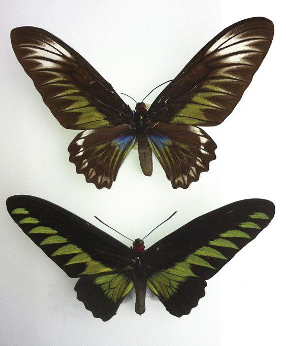 Trogonoptera brookian