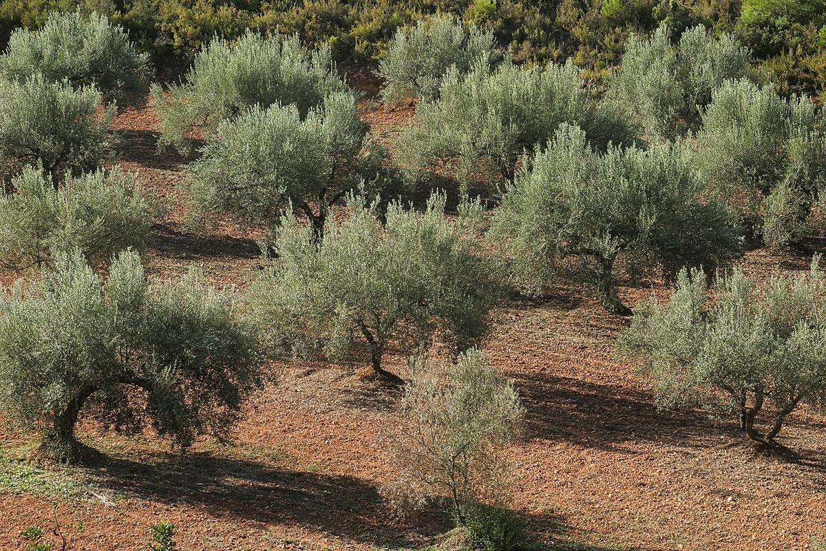 Secretos del olivo