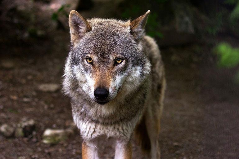 Mito O Realidad Por Qué Los Lobos Aúllan A La Luna Llena