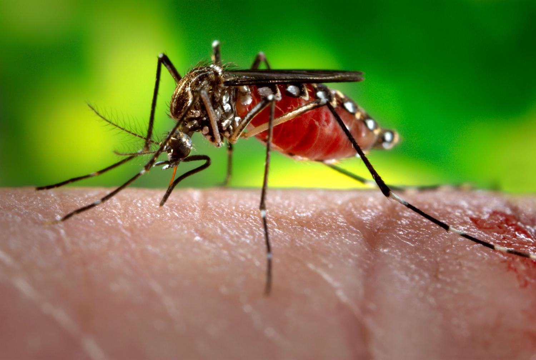 Per què només piquen els mosquits femella?