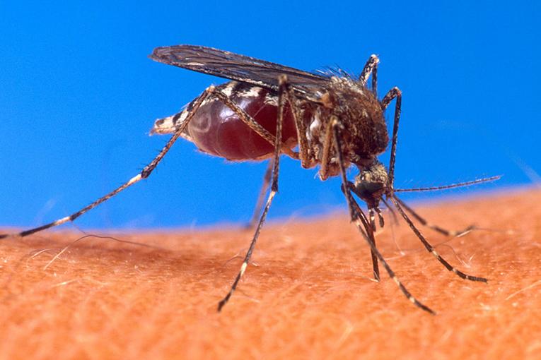 Aedes_aegypti_portada