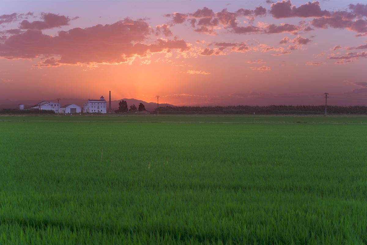 arroz verde en El Palmar