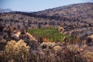 Cipreses del proyecto CypFire afectadas por el incendio de Andilla