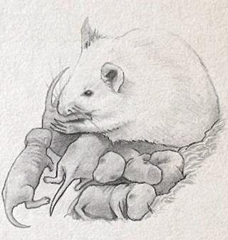 rata mare