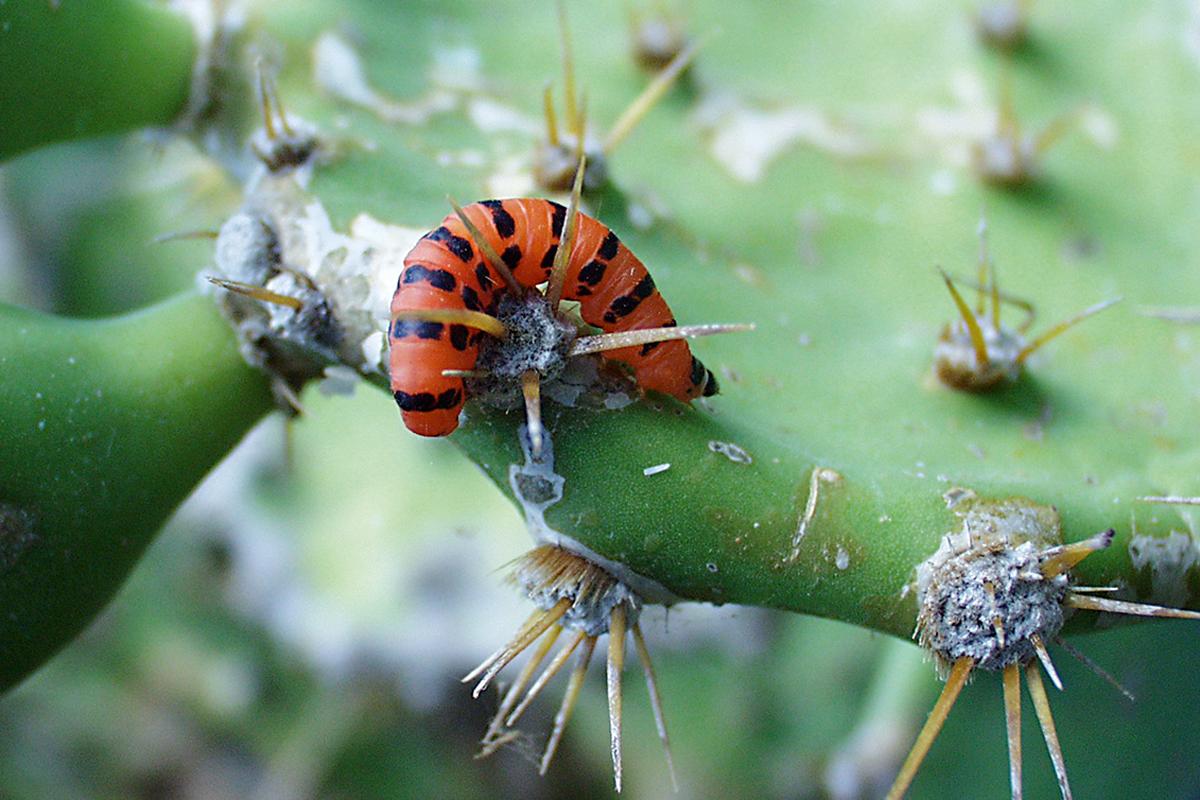 cadena larga parásitos en insectos