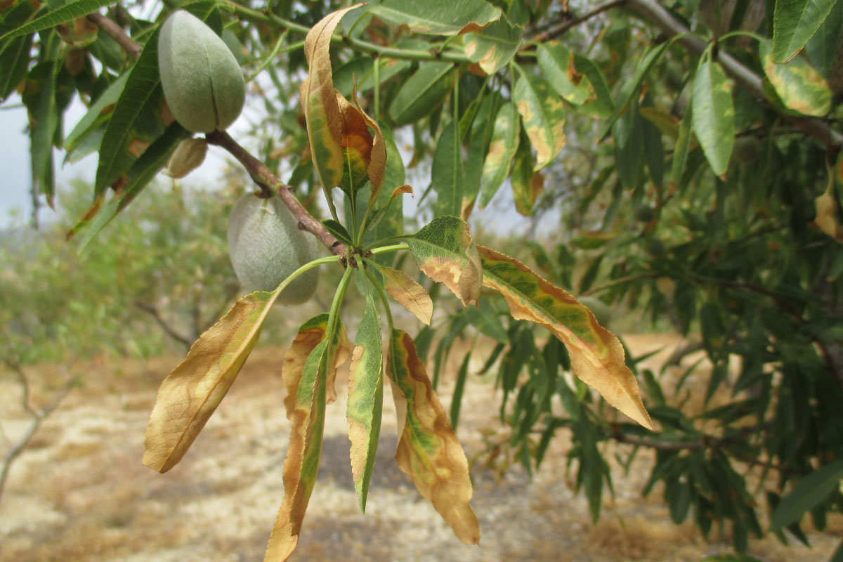 Xylella fastidiosa bacteria cause disease in almond and other plant species. / Photo: IVIA