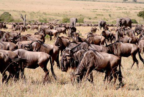 manada ñus biodiversidad Tierra