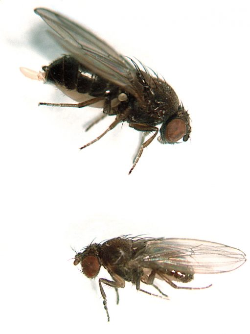 Exemplars de Drosophila subobscura