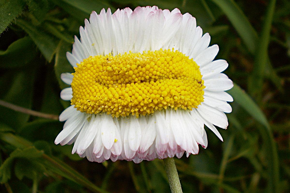 margarida càncer plantes