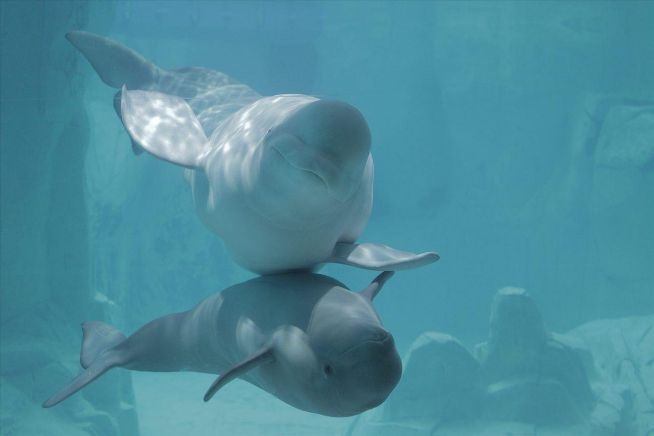 ballenas: madre y cría beluga