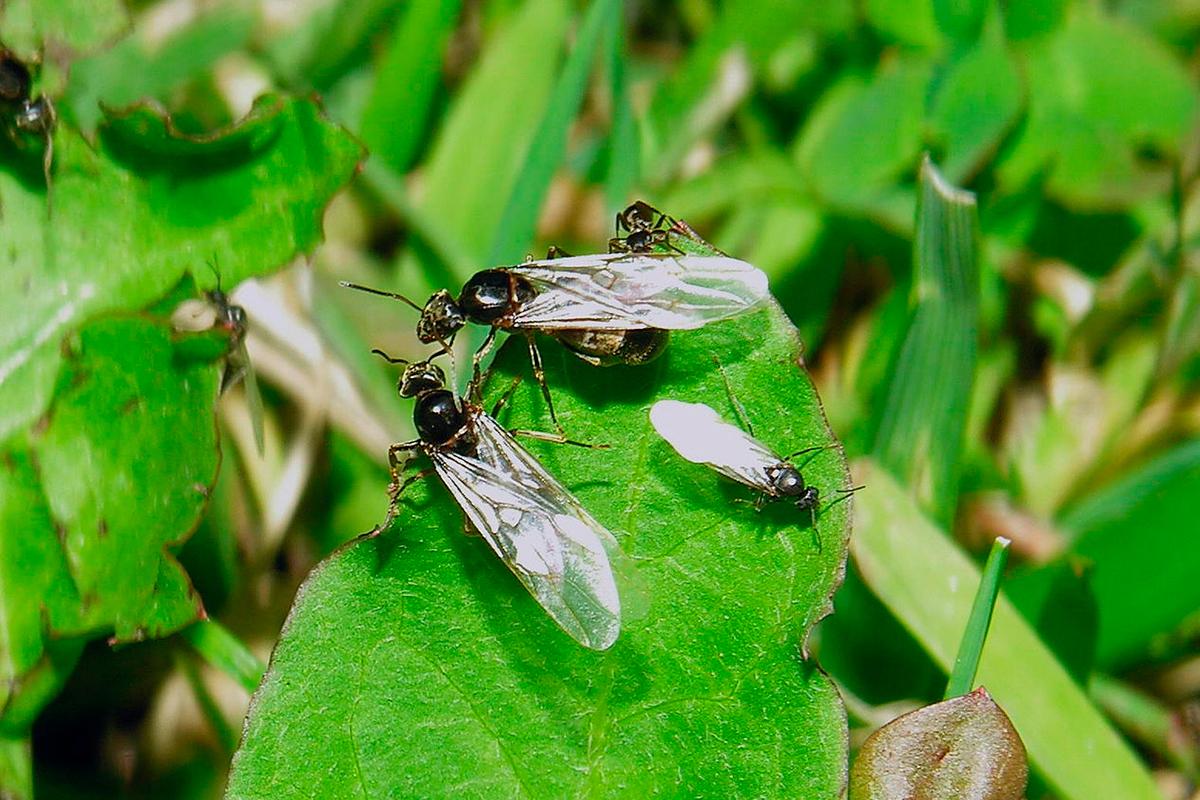 ¿Qué hormigas tienen alas? ¿Pueden volar las hormigas? ¿Cómo son las hormigas voladoras?