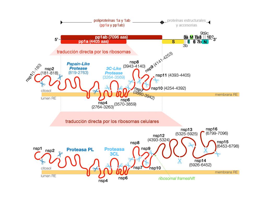 proteasas figura 1