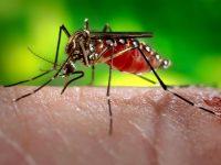 ¿Por qué solo pican los mosquitos hembra?